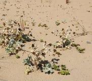 Flory przy plażą Atlantycki ocean zdjęcie stock