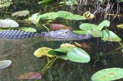 Floryda aligator Zdjęcia Royalty Free