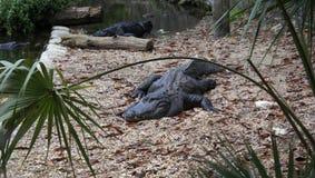 Floryda aligator obrazy royalty free