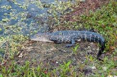 Floryda aligatora Sunning Zdjęcie Royalty Free