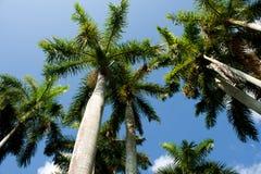 Floryda drzewka palmowe Zdjęcia Stock