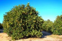 Floryda gaju Pomarańczowy rolnictwo zdjęcie stock