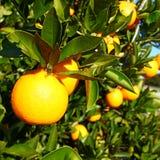 Floryda gaju Pomarańczowy tło obrazy royalty free