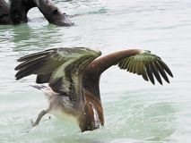 Floryda Klucze Stanu park Bahia Honda, pelikana pikowanie łapać ryba Zdjęcie Stock