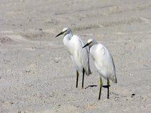 Floryda, madery plaża, dwa zamkniętego egrets stoi na plaży, zakończenie widok zdjęcie stock