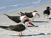Floryda, madery plaża, terns na plaży Obrazy Stock