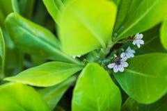 Floryda Miodowa pszczoła zapyla białych kwiaty - Szeroki tylny kąta widok obrazy royalty free