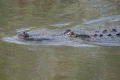 Floryda Pływacki aligator Fotografia Stock
