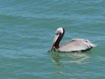 Floryda pelikan Zdjęcie Royalty Free