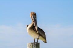 Floryda pelikan Obrazy Royalty Free