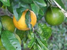 Floryda pomarańcze Zdjęcia Royalty Free