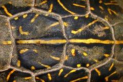 Floryda pudełkowaty żółw Shell Deseniuje Obrazy Royalty Free