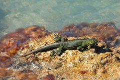 Floryda zieleni iguana Obrazy Royalty Free