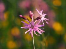 Flos-cuculi Lychnis - Клочковат-Робин, весна стоковое изображение