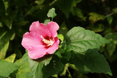 Flos hibisci mutabilis Stock Photography