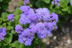 Floss Flower Stock Image