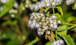 Floss Flowers or White Ageratum Houstonianum or Foot or Me Stock Photos