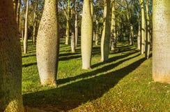 Floss gli alberi di seta in Jardin del Real Viveros di Valencia, Spagna immagine stock libera da diritti