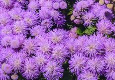 Floss il blu impressionante di leilani di leilani del fiore del fiore blu impressionante del filo di seta nel fondo fotografia stock