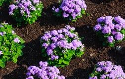 Floss il bouque impressionante del blu di leilani del fiore o del blu di ageratum Fotografia Stock Libera da Diritti