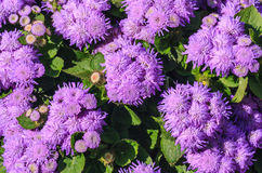 Floss il bouque impressionante del blu di leilani del fiore o del blu di ageratum Immagini Stock Libere da Diritti