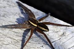 Floss-Jagd Spinne - Dolomedes fimbriatus Lizenzfreie Stockfotos