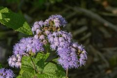 Floss kwiat - Ageratum houstonianum Fotografia Royalty Free