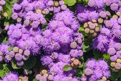 Floss kwiatu leilani Wspaniały błękit w tle Obraz Royalty Free