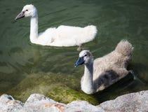 Floss mit zwei kleines Schwänen im Balaton See Lizenzfreie Stockfotos