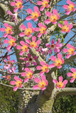 Floss Silk Tree Royalty Free Stock Images