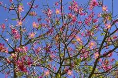 Floss Silk Tree flowers Royalty Free Stock Photo