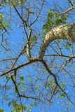 Floss Silk tree in Jardin del Real Viveros of Valencia, Spain Royalty Free Stock Image