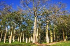 Floss Silk trees in Jardin del Real Viveros of Valencia, Spain Stock Photos