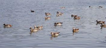 Floss von den Enten, die auf einem See schwimmen Stockfotos