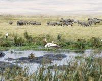 Floss von Flusspferden in einer Wasserstelle mit Zebras und Vögeln im Hintergrund lizenzfreies stockbild