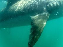 Flosse eines kupfernen Haifischs stockfotografie