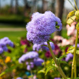 Flossflower在庭院里。 免版税库存照片