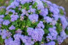 Flossflower藿香蓟属houstonianum在庭院里 免版税图库摄影