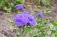 Flossflower,一朵蓝色野花 库存照片