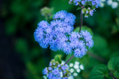 Flossflower Photographie stock libre de droits