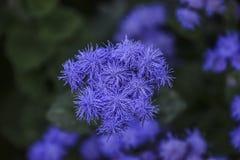 Flossflower Ageratum houstonianum Zdjęcie Stock