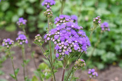 Flossflower, błękitny wildflower Zdjęcie Stock