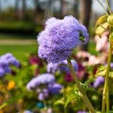 Flossflower w ogródzie. Zdjęcie Royalty Free