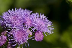 Flossflower w ogródzie na zielonym tle Obraz Royalty Free