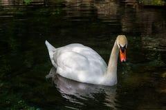 Flotación blanca del cisne fotos de archivo