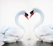 Flotación blanca hermosa de los cisnes fotografía de archivo libre de regalías