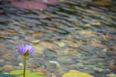 Flotación de 1 flor de loto púrpura en la charca con las rocas en la tierra foto de archivo