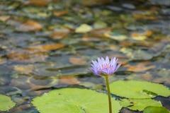 Flotación de 1 flor de loto purpúrea clara en la charca con las rocas en la tierra fotos de archivo