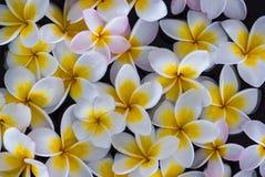 Flotación de las flores del Frangipani Imagenes de archivo