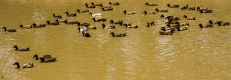 Flotación de los patos Fotografía de archivo